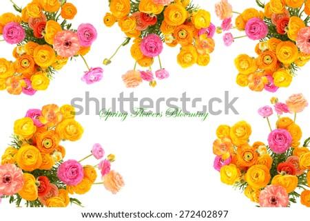 bright multicolor buttercups  over white - stock photo