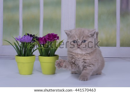 British kitten playing against the window - stock photo