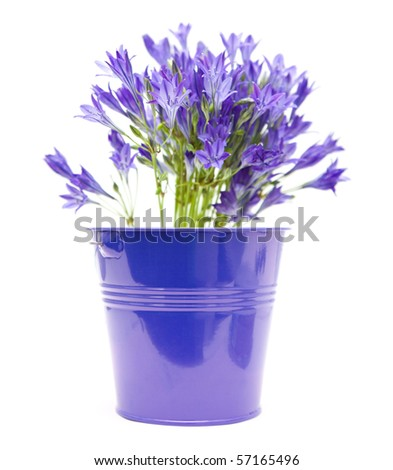 Brodiaea; cluster-lilies in blue ornamental bucket isolated on white background - stock photo