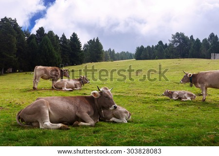 Brown cows on  summer meadow  - stock photo