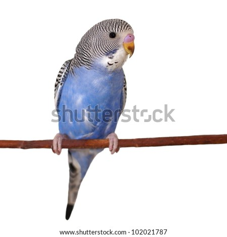 budgerigar on branch  isolated on white background - stock photo