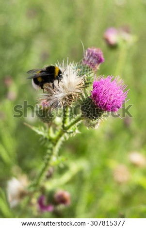 Bumblebee collecting pollen from thistle flower - stock photo
