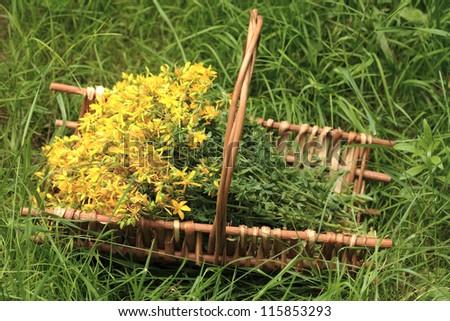 Bunch of St. John's wort herb in a  wicker basket - stock photo