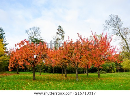 """Burning"" Prunus Triloba Multiplex trees in the autumnal park. Fallen leaves on the grass. - stock photo"