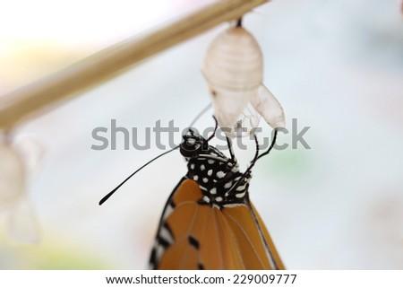 Butterfly Chrysalis, new born - stock photo