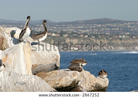 """california brown pelicans"" ""Pelecanus occidentalis "" sun themselfs on rocks on a jetty in Southern Californias Dana Point harbor - stock photo"