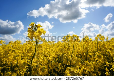 Canola field with canola oilseed and yellow rape flowers. Blue cloudy sky. Spring time - stock photo