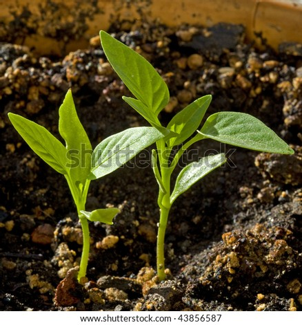 2 capsicum seedlings in soil - stock photo