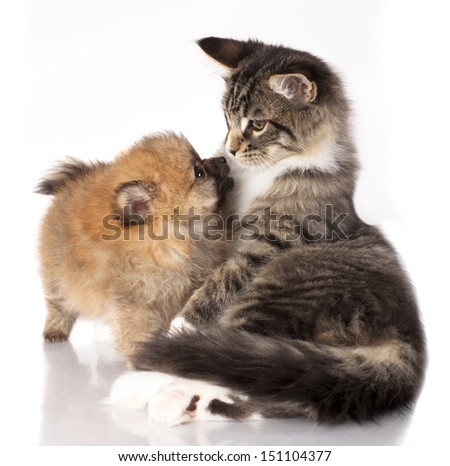 Cat and dog, Spitz puppy and kitten breeds Maine Coon - stock photo