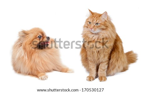 cat and funny pomeranian isolated on a white background   - stock photo