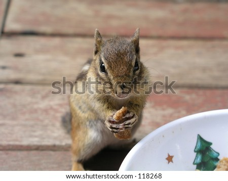 cereal snacking chipmunk - stock photo