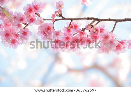 Cherry blossom, selective focus and diffused background in Spring time - stock photo