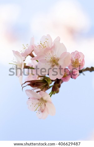Cherry Blossom Twig - Closeup - stock photo