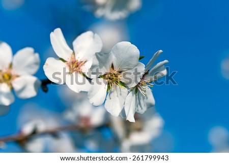 Cherry flowering - blooming  - stock photo