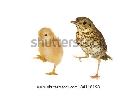 chick and  song thrush  on a white background - stock photo