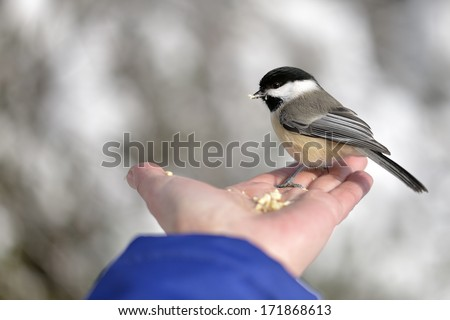 Chickadee in Winter - stock photo