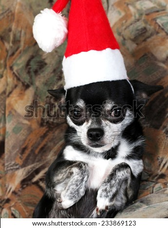 Christmas chihuahua  with Santa costume - stock photo