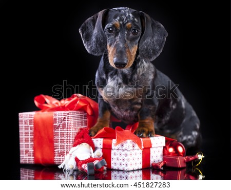 christmas  dachshund dog and gifts boxes with ribbons - stock photo