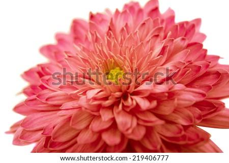 chrysanthemum isolated on white background - stock photo