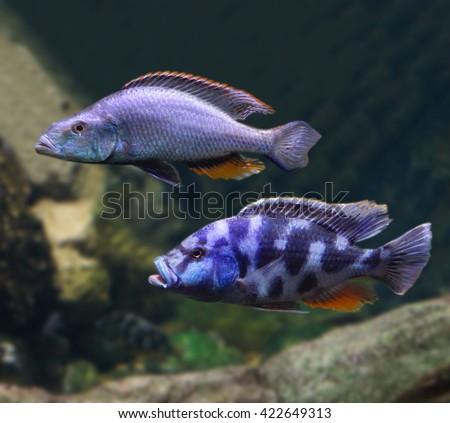 cichlids in the aquarium                              - stock photo