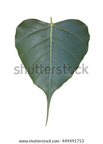 (Clipping path) Green Bo leaf isolated on white background. - stock photo