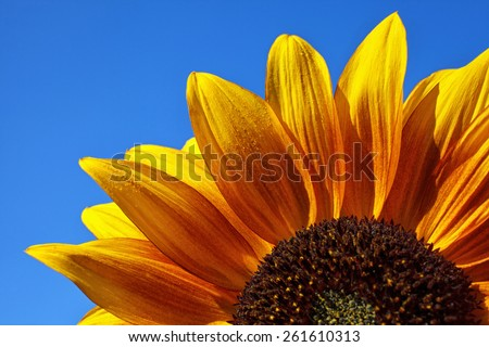 Close-up of a colorful sunflower with dew drops in blue sky backgraund - stock photo