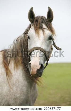 Close-up of a gray youngster in summer paddock. Portrait of an beautiful arabian white horse - stock photo
