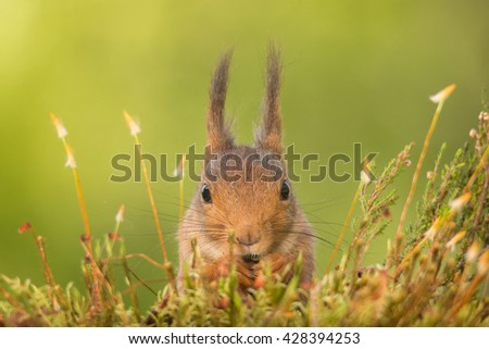 close up of red squirrel standing between moss  looking in the lens - stock photo