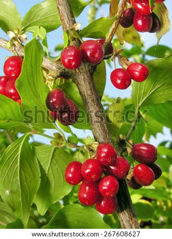 close-up of ripe  red cornelian cherries on the branch - stock photo
