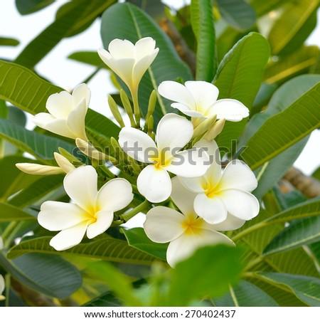 close up  of white frangipani  flower - stock photo