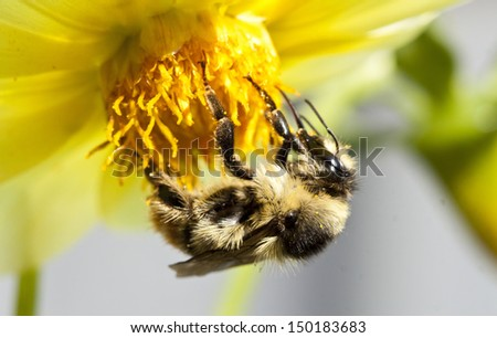 Close up on a honeybee sitting on wild flower  - stock photo