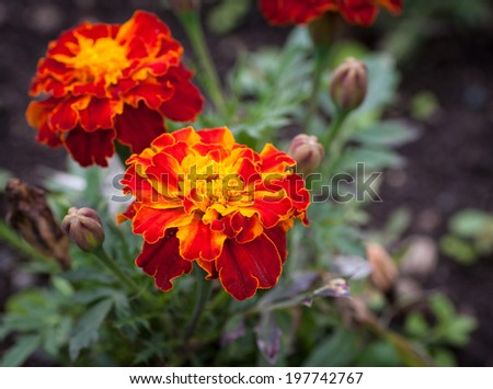 Close-up photo of orange Tagetes flower (marigold). Selective focus with shallow depth of field. - stock photo