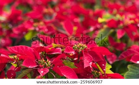 close-up poinsettia flowers - stock photo