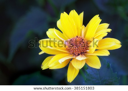 Close view of yellow Arnica herb  blossom  - stock photo