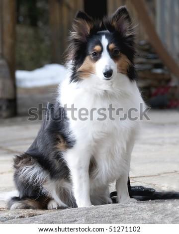 closeup of a sheepdog posing for camera - stock photo