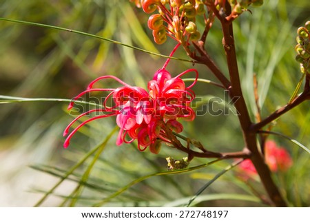 Closeup of blooming Grevillea plant  - stock photo
