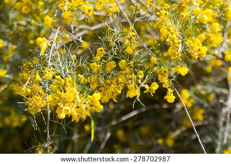 Closeup of blooming Silver Cassia in spring - stock photo