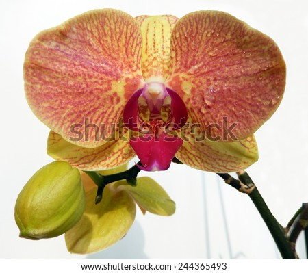 Closeup on an orange spotted orchid with a Marsala red center petal                            - stock photo