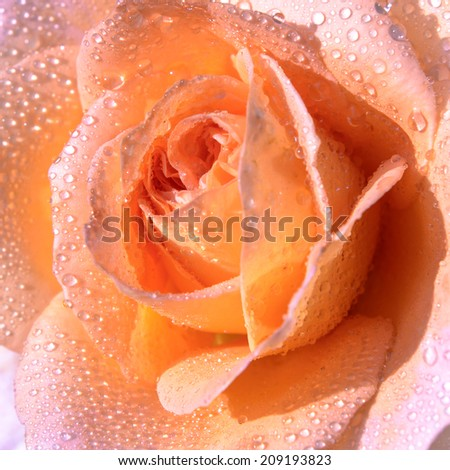 Closeup photo of beautiful pink -yellow rose with water drops on petals. - stock photo