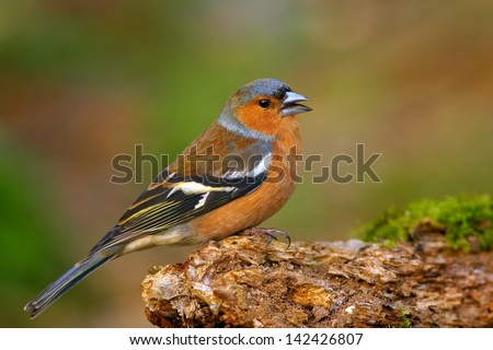 Common Chaffinch (Fringilla coelebs) - stock photo