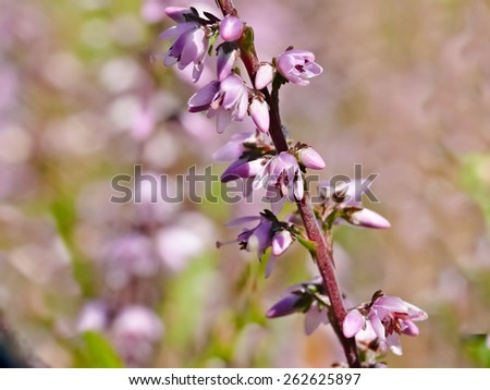 Common heather (Calluna vulgaris) - stock photo