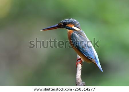 Common Kingfisher - stock photo