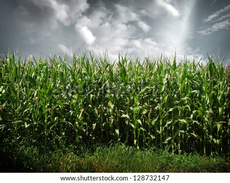 cornfield with dramatic sky - stock photo