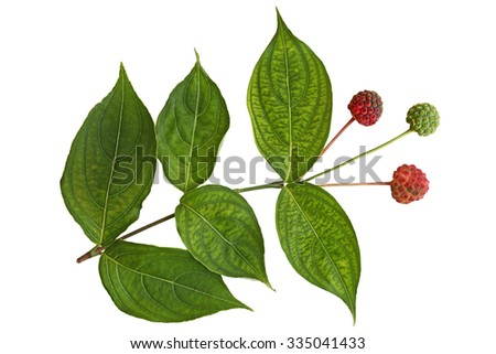 Cornus Kousa Dogwood Fruit and Leaf isolated on white background - stock photo