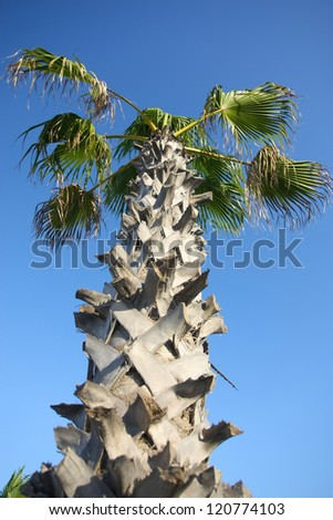 Corny palm tree. Corny palm date tree with clear blue sky. - stock photo