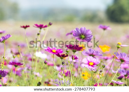 cosmos flower face to sunrise in field - stock photo