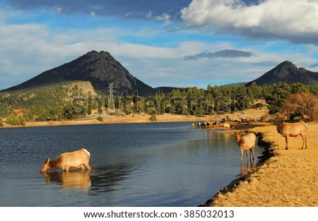 cow elks  in lake estes,  estes park, colorado          - stock photo