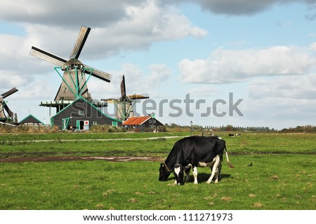 Cows grazing on lush grass not far from the windmills. Charming Dutch pastoral - stock photo