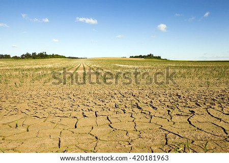 cracked earth due to lack of water on the field, where they grow corn. summer. - stock photo