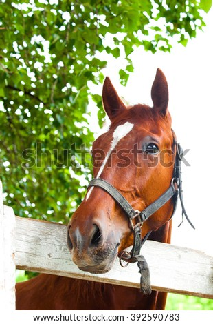 curiosity red horse muzzle of the halter over the white wooden fence on the background of bright green foliage at the track in the summer - stock photo